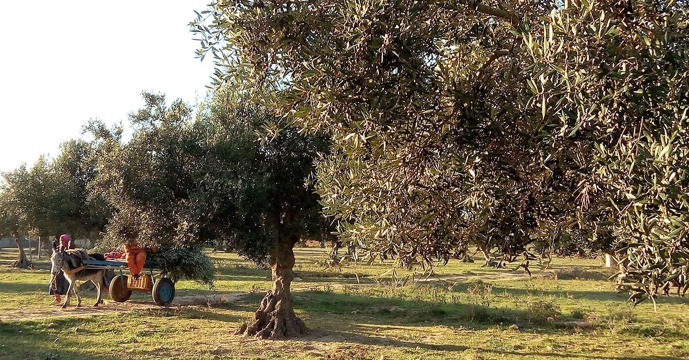 Olives récoltées à la main